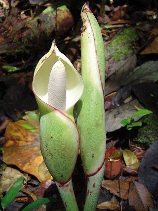 <i>Philodendron pedatum</i>